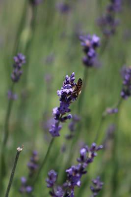 Lavender And Honey Bee Art Print