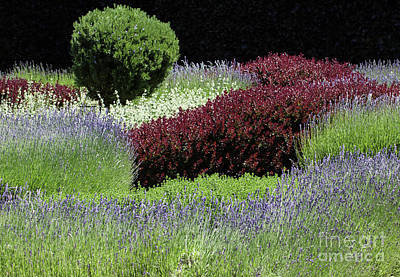 Photograph - Lavender And Shrub Garden by Suzanne Luft
