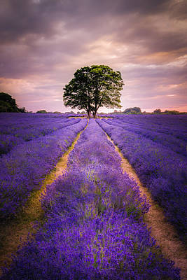 Photograph - Lavender And Sunlight by Kelvin Trundle