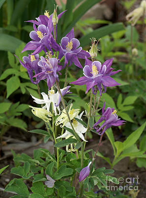 Lavender And White Columbine Art Print