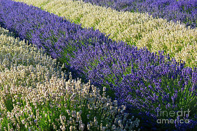Photograph - Lavender And White by Mike Dawson