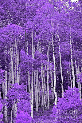 Royalty-Free and Rights-Managed Images - Lavender Aspen Forest by John Stephens