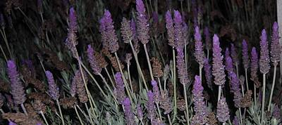 Lavender At Night Art Print by Jean Booth
