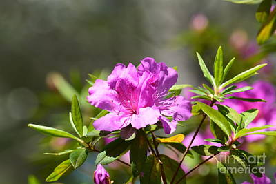 Photograph - Lavender Rhododendrun by Maria Urso