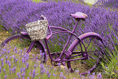 Photograph - Lavender Bike by Louise Magno