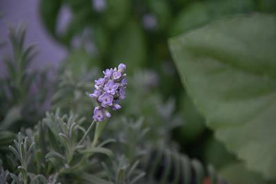 Photograph - Lavender Blossom by Vanessa Valdes