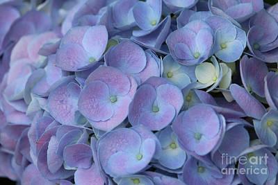 Purple Hydrangea Photograph - Lavender Blue Hydrangea by Carol Groenen
