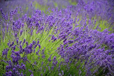 Photograph - Lavender Breeze by Jani Freimann