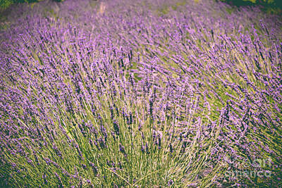 Photograph - Lavender by Colleen Kammerer