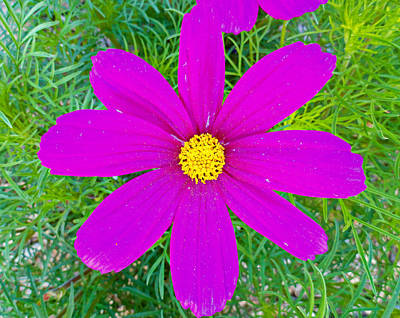 Photograph - Lavender Cosmo by Robert Meyers-Lussier
