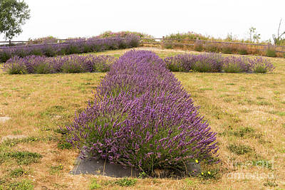 Photograph - Lavender Cross by Louise Magno