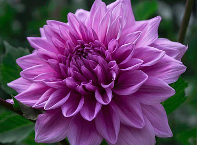 Pyrography - Lavender Dahlia by Arlene Carmel
