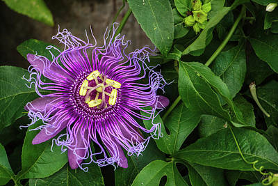 Photograph - Lavender Delicacy by Stuart Smith