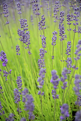 Photograph - Lavender Dream by Jani Freimann