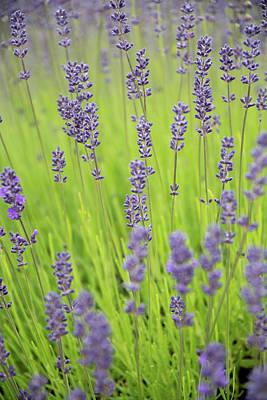Photograph - Lavender Dream by Jani Freimann