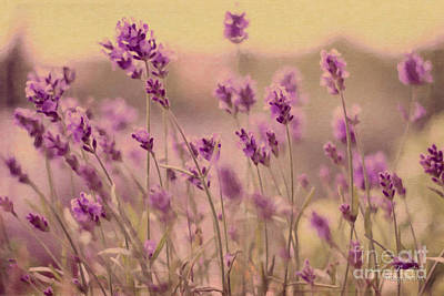 Lavender Dreaming ... Art Print by Chris Armytage
