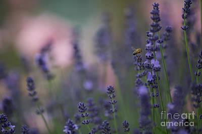 Photograph - Lavender Dreams by Eva Lechner