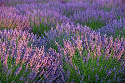 Photograph - Lavender  by Emmanuel Panagiotakis