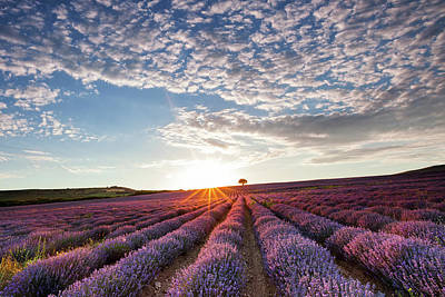Photograph - Lavender by Evgeni Dinev