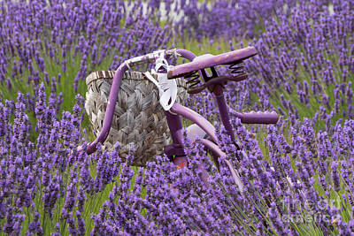 Photograph - Lavender Farm Bike by Louise Magno