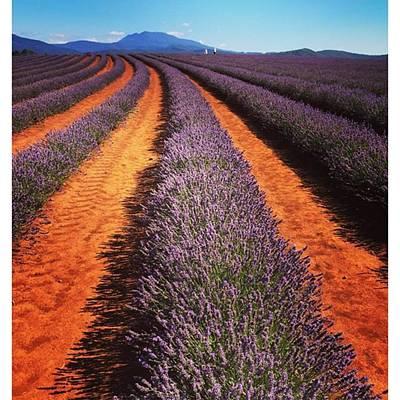 Photograph - Lavender Farm Tasmania 2015 #lavender by Paul Dal Sasso