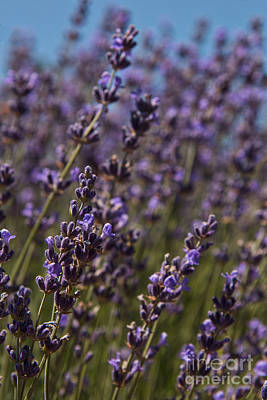 Photograph - Lavender Field by Ana V Ramirez