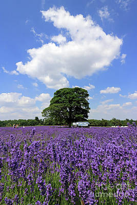 Photograph - Lavender Field And Whispy Cloud by Julia Gavin