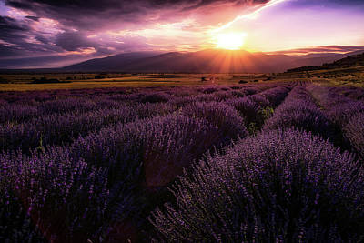 Photograph - Lavender Field At Sunset by Plamen Petkov