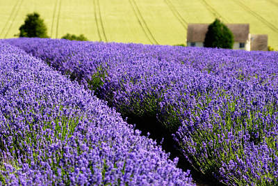 Photograph - Lavender Field by Chris Deeney