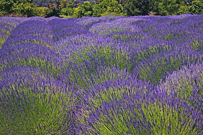 Lavender Field Print by Garry Gay