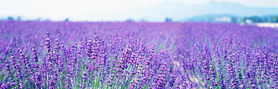 Lavender Field Japan Art Print