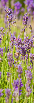 Bookmarks Wall Art - Photograph - Lavender Field by John Basford