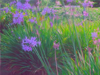 Lavender Field Art Print by Maribel McIntosh