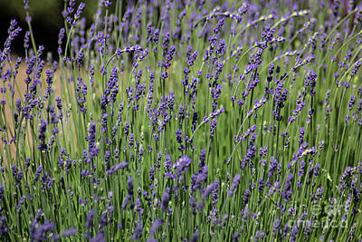 Photograph - Lavender Field by Suzanne Luft