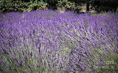 Photograph - Lavender Fields by Colleen Kammerer