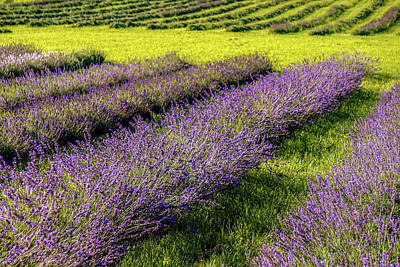 Photograph - Lavender Fields Forever by Kendall McKernon