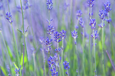 Photograph - Lavender Fields by Jenny Rainbow