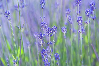 Photograph - Lavender Fields by Jenny Rainbow