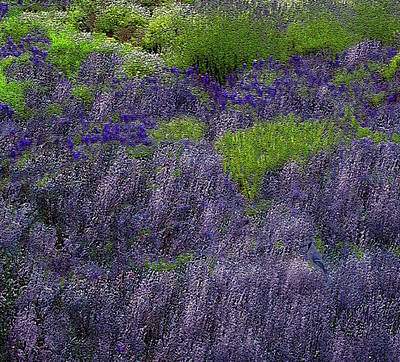 Photograph - Lavender Fields by Michele Avanti