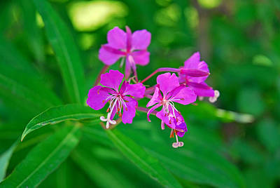 Photograph - Lavender Fireweed by Robert Meyers-Lussier