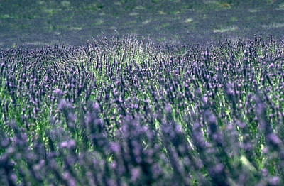 Photograph - Lavender by Flavia Westerwelle