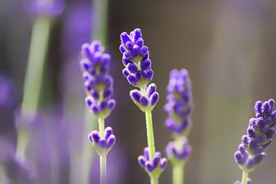 Lavender Flowers Photograph - Lavender Flower by Martin Newman