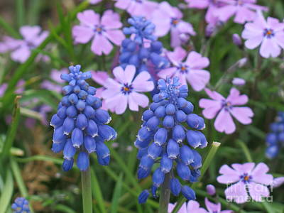 Photograph - Lavender Flowers And Blue Berries by Rod Ismay