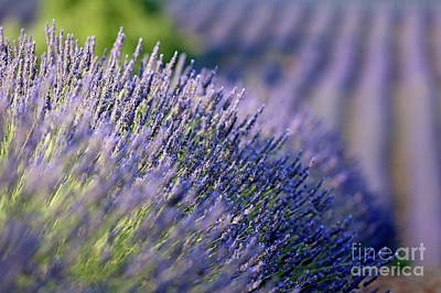 Lavender Flowers In A Field Art Print by Sami Sarkis