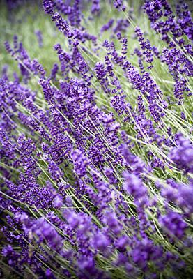 Lavender Print by Frank Tschakert