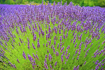 Photograph - Lavender Gathering by Ken Stanback