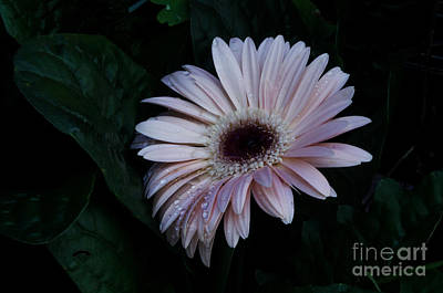 Photograph - Lavender Gerber Daisy by Donna Brown