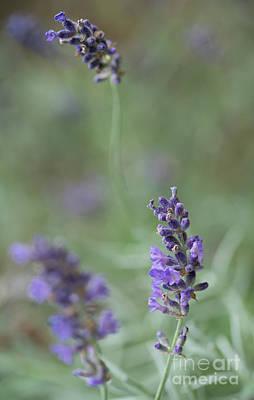Photograph - Lavender by Giovanni Malfitano