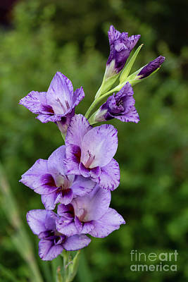 Photograph - Lavender Gladiolus  by Charles Hite