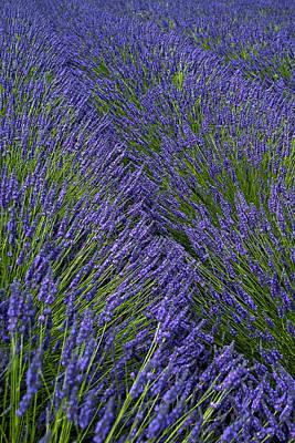 Lavender In Sequim Original by Jon Cretarolo